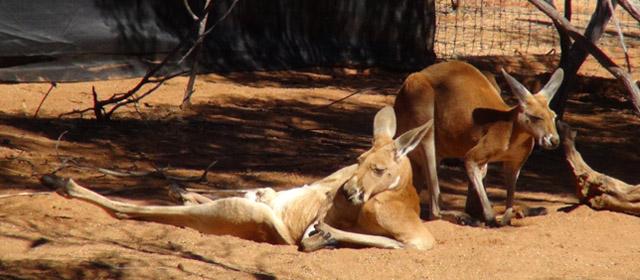 Australija – išskirtinės gamtos žemynas