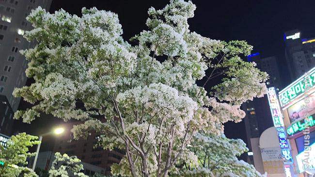 Žydintys medžiai. Korėjos miestuose nuostabiai daug gražių žiedų, ir skirtinguose miestuose jie pražysta skirtingu metu. Tą supranti tik būdamas šalyje ilgiau.
