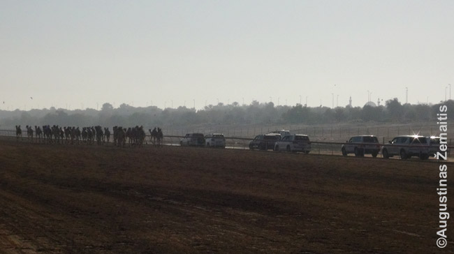 Dykumų lenkytinių trasoje turtingi šiuolaikiniai arabai džipais seka savo kupranugarius (Abu Dabis)