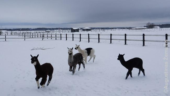 Alpakos išleistos palakstyti lauke. Žiemą daugelis jų paprastai gyvena viduje, bet vilnuotiems gyvūnams ir lietuviškos žiemos nebaisios