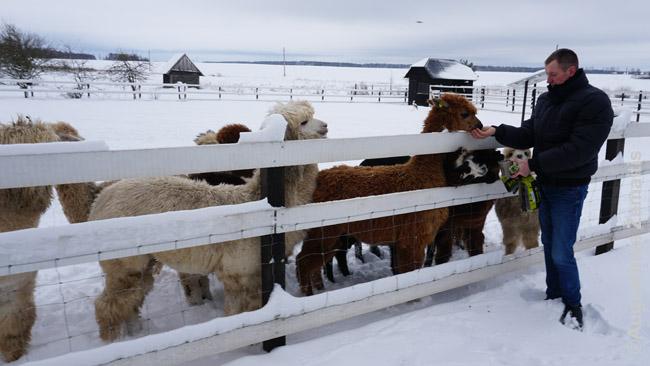 Vilnuotesnės lauke gyvenančios alpakos