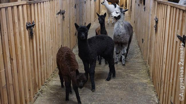 Alpakos susidomėjusios stebi atvykėlius, prieš nudundėdamos koridoriumi tolyn