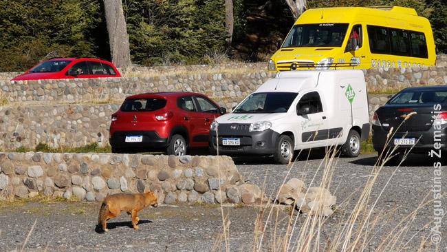 Į parkavimo aikštelę užsukusi lapė - kaip ir daug Argentinos gyvūnų, žmonių ji nebijojo