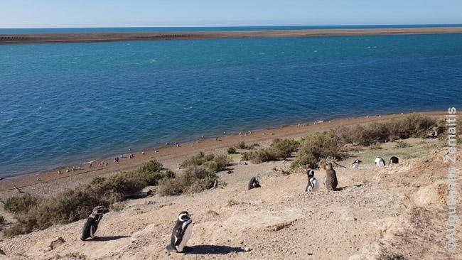 Vienas daugybės pingvinų paplūdimių Argentinoje, kur jie peri kiaušinius