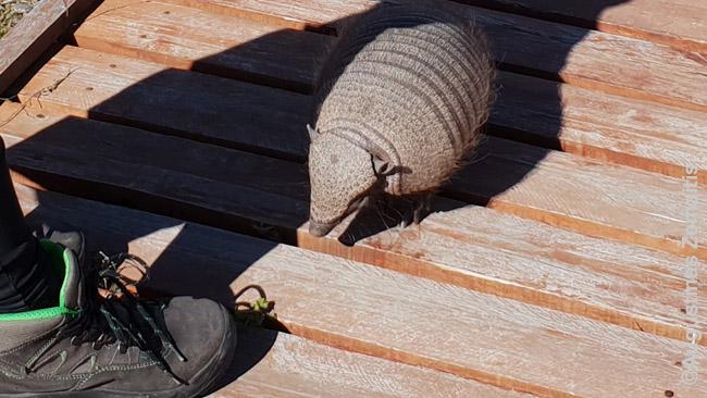 Šarvuotis, vienas keisčiausių Argentinos gyvūnų. Čia jis priėjo visai arti, bet dažniau netikėtaiiš krūmų iššokdavo priešais automobilį - laimė, nesuvažinėjome