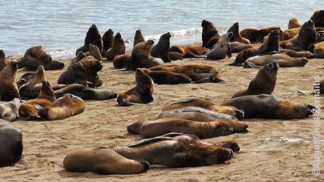 Mar Del Platos jūrų liūtai iš arčiau