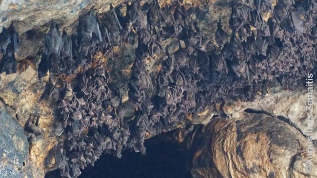 Goa Lawah šikšnosparniai