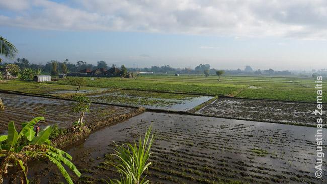 Didžumą Balio vis dar sudaro ryžių laukai, nors dalis jų kasmet ir užstatoma