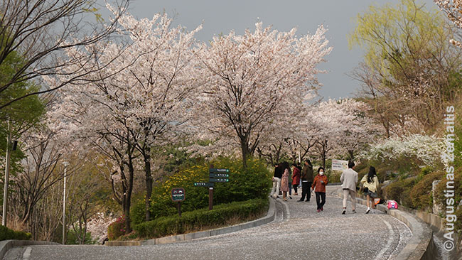Pagrindiniai sodai gal ir uždaryti, bet gražių žiedų yra visur Korėjoje