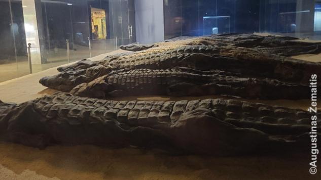 Krokodilų mumijos Kom Ombo