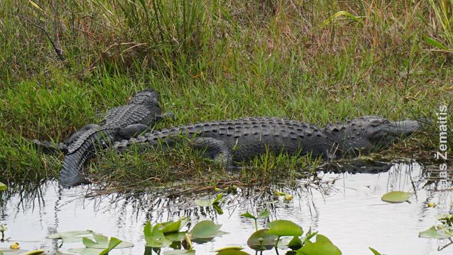 Aligatoriai prie Anhinga pasivaikščiojimo tako Evergleidse