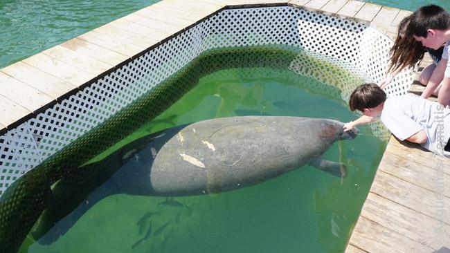 Vaikai glosto lamatiną Florida Keys Robio prieplaukoje. Jau radau jį ten, paskui jis neva buvo išplaukęs ir vėl grįžo. Nesunku atpažinti iš randų, kuriuos paliko turistinių laivų propeleriai...