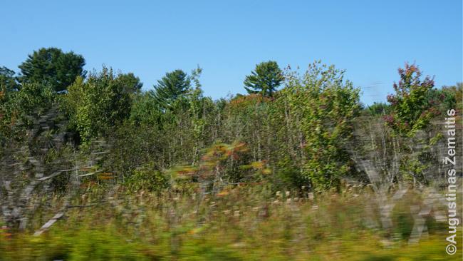 """Miškas pro važiuojančio automobilio langą automatiniu režimu. Medžiai """"išplaukę"""", ypač artimiausi - nes jie juda greičiausiai (tiksliau, automobilis pro juos pralekia sparčiausiai)"""