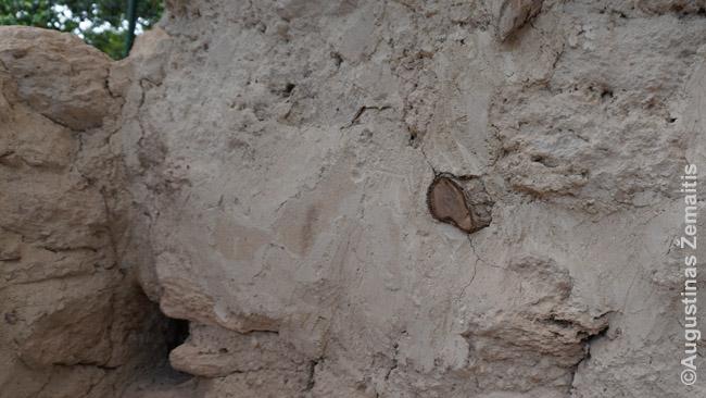 Majų mūras perkirstas medžių šaknies. Baisu pjauti medžius, nes dabar jie laiko pastatą - nupjovus gali griūti. Čia archeologai surizikavo.