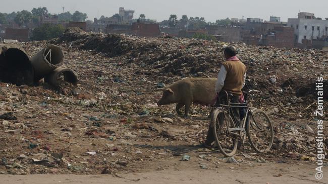 Šventajame Indijos varanasio mieste - šiukšlių laukas, jo kiaulės ir nusišlapinti sustojęs dviratininkas