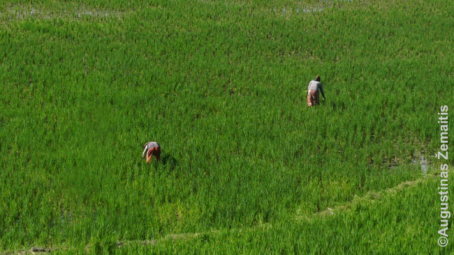 Indoneziečiai triūsia ryžių lauke