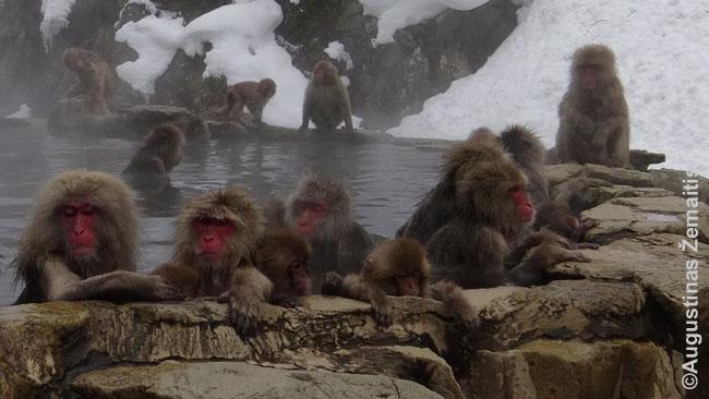 Onsene kaitinasi... beždžionės