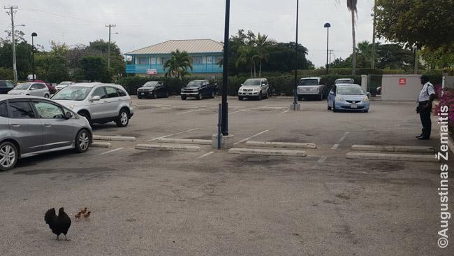 Banko parkinge ganosi višta su viščiukais. Tai - vienas nedaugelio karibietiško trečio pasaulio atributų Kaimanų salose
