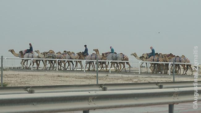 Prie lenktynių trasos kupranugariai išvesti pasivaikščioti