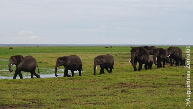 Dalis dramblių bandos Amboselio nacionaliniame parke