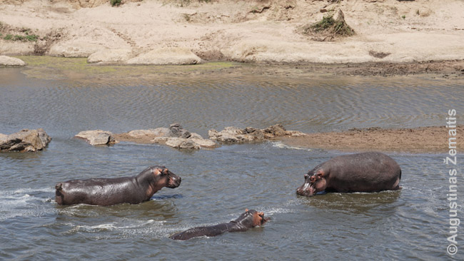 Begemotai Masai Maroje