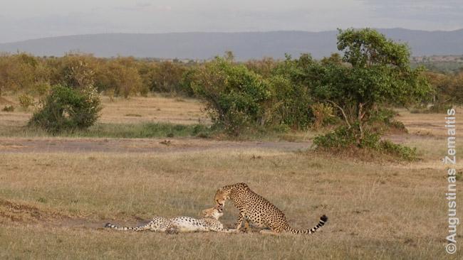 Masai Maros nacionaliniame parke 'bučiuojasi' gepardai