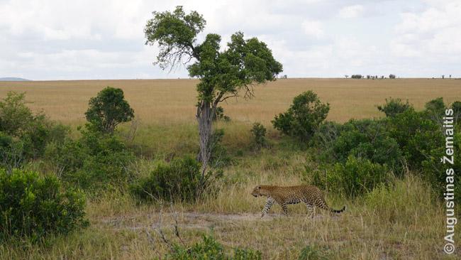 Leopardas Kenijos Masai Maros parke