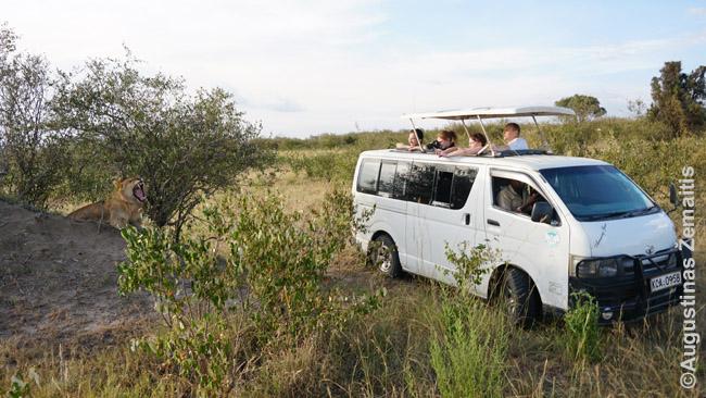 Turistai iš vieno daugybės apstojusių mikroautobusų fotografuoja riaumojantį liūtą