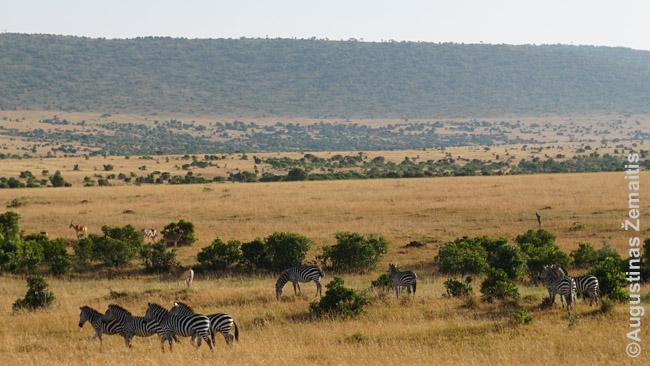 Zebrai ir gazelės Masai Maroje