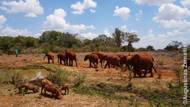Šėrikas išveda drambliukus