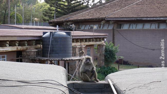 Bomas of Kenya tradicinio maisto restorane Vakarų Nairobyje stebi beždžionės