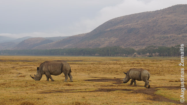 Raganosė su jau paaugusiu vaiku Nakuru nacionaliniame parke