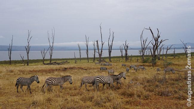 Zebrų kaimenė prie Nakuru ežero
