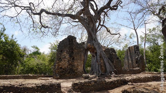 Iš Gede griuvėsių pastato liekanų jau auga medis