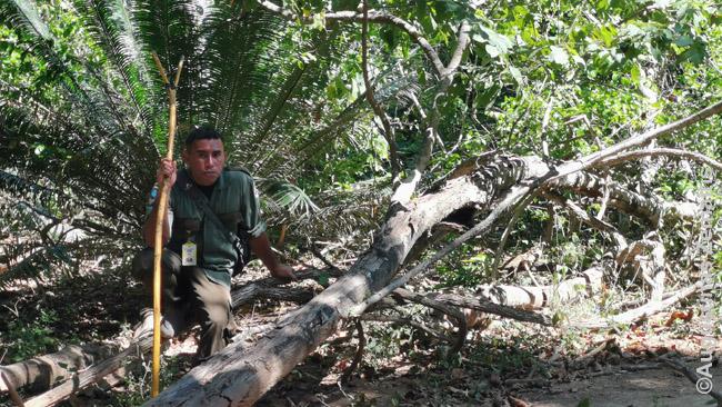 Ekskursijos po Komodo salos mišką vedlys, pasiruošęs stabdyti puolantį varaną dvišaka lazda