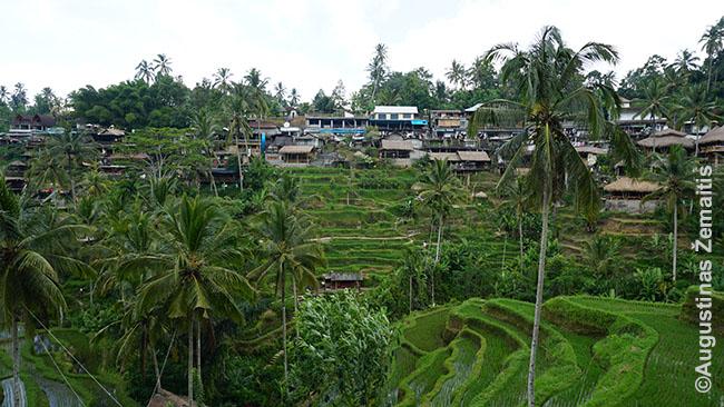 Tegalalango ryžių terasos