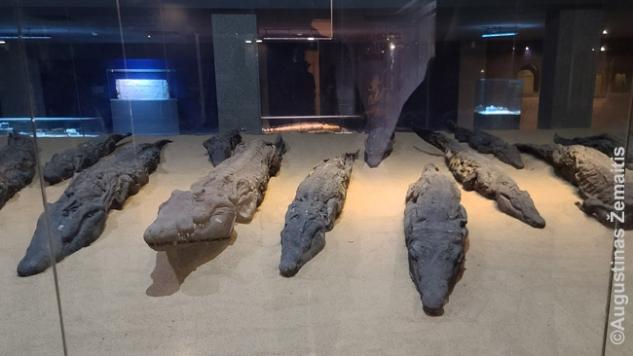 Kom Ombo krokodilų mumijos