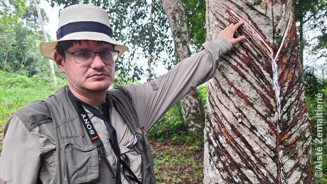 Mus lydintis vyras su mačete parodė, kaip iš medžių sunkiami sakai - kaučiukas vėliau virsta padangomis