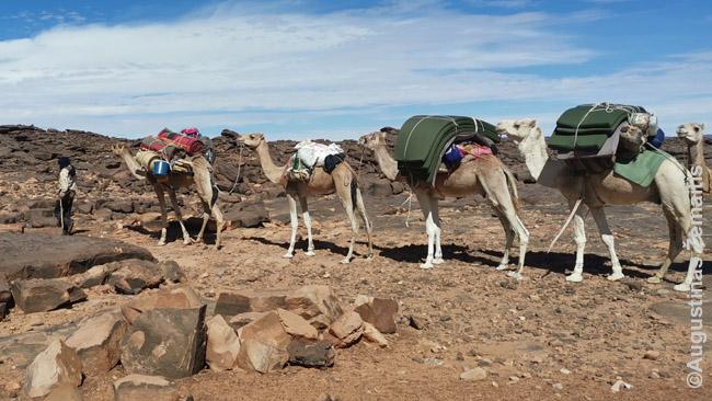 Kupranugarių karavanas. Jie geriau lipa į kopas ir sunkiai leidžiasi žemyn, todėl leidžiasi ne tiesiai, o vingiuodami per aplink, kur nuožulnumas mažesnis