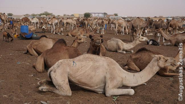 Kupranugarių turguje Mauritanijoje