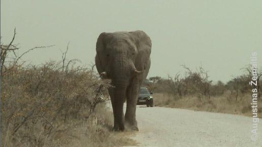Dramblys eina keliu Namibijoje