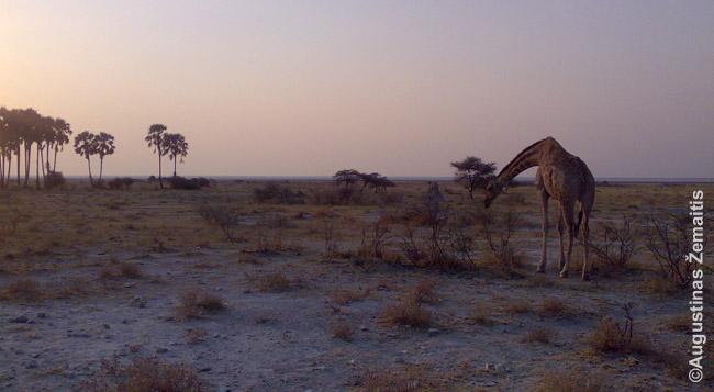 Žirafa Etošos parke