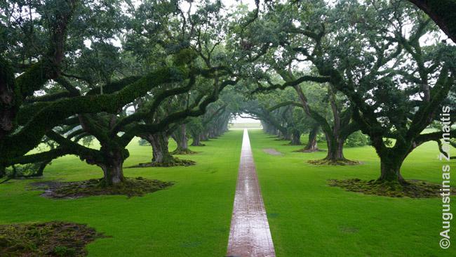 Oak Alley plantacijos ąžuolų alėja