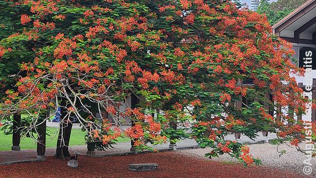 Nuostabūs Panamos medžiai