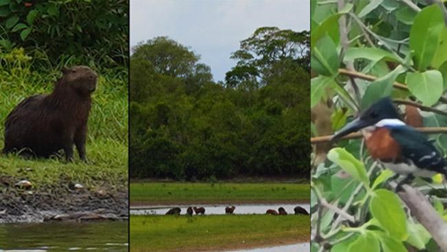 Pantanalio kapibaros (kairėje). Tokių matėme šimtą ir gidas jų net nerodė - jam tai taip įprasta. Bet mums toks keistas, naujas gyvūnas, kaip ir daug Pantanalio amerikietiškos faunos