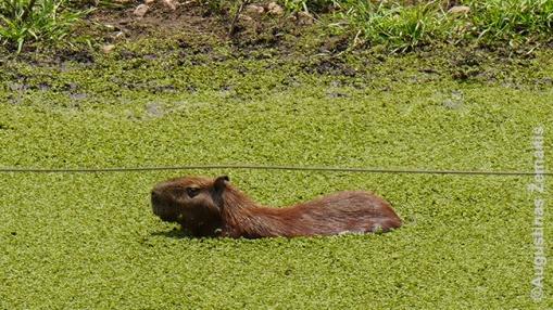 Pantanalis ir jo gyvūnija: kapibara