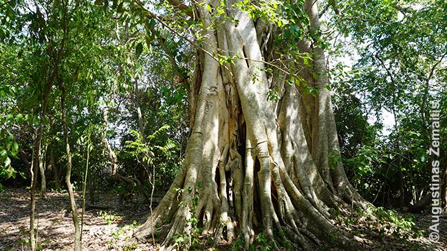 Medis Pantanalyje