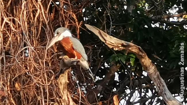 Spalvingas Pantanalio paukštelis