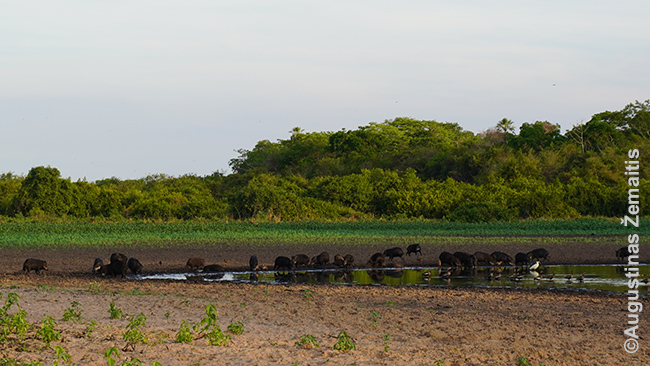 Pekarių banda (ekskursija iš Poso Alegre ložės į vietą, kur įmanoma patekti tik pačiu sausiausiu metu, koks kaip tik buvo tada)