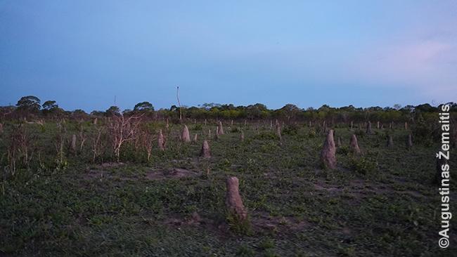 Transpantaneiros apylinkės pilnos termitynų
